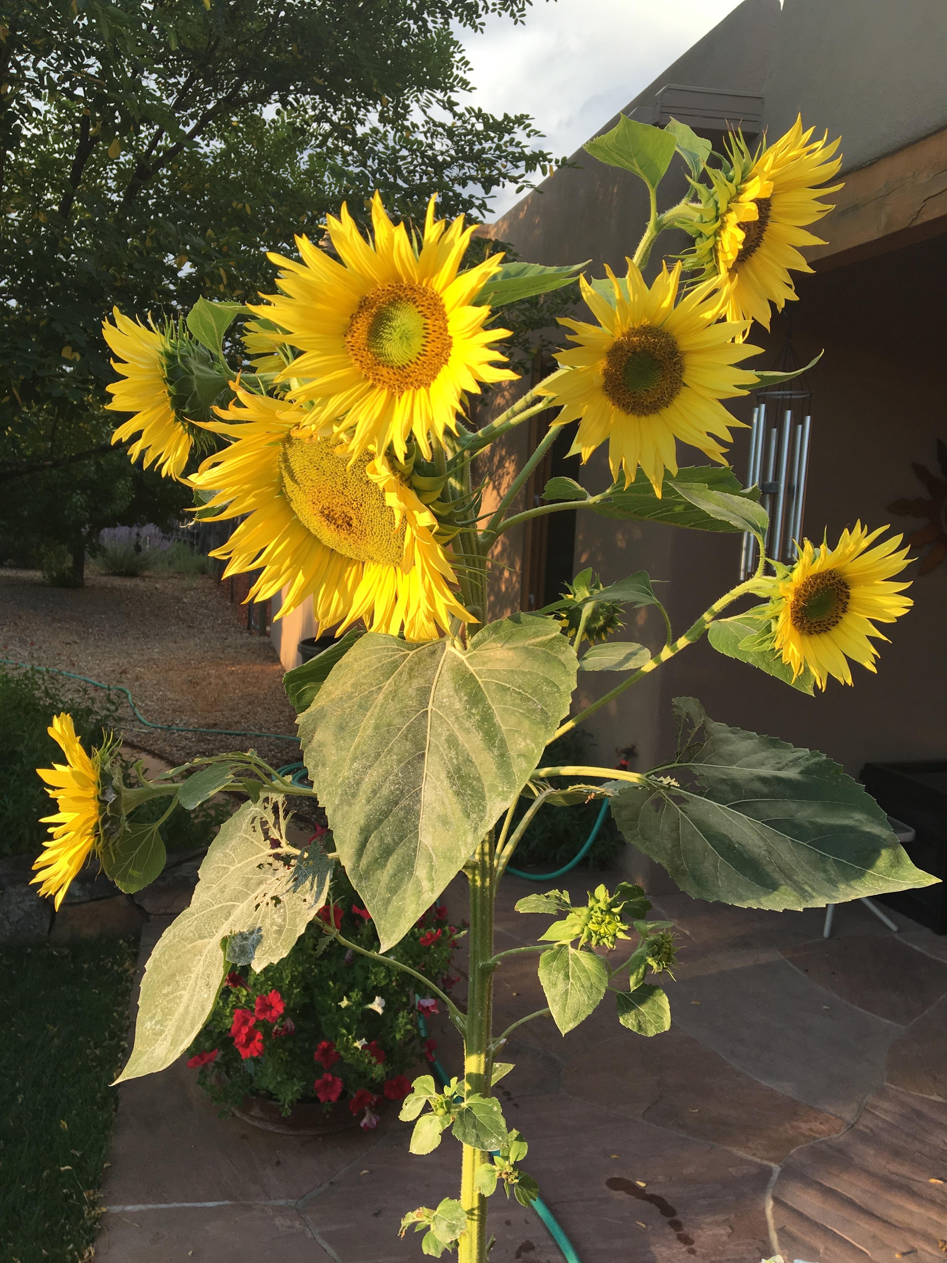 happy-sunflowers