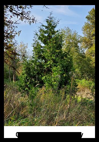 CSL - Camp Tree Today